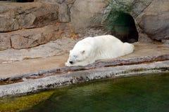 Η πολική αρκούδα Στοκ εικόνα με δικαίωμα ελεύθερης χρήσης