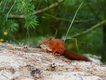 Η πονηριά φαίνεται σκίουρος στο φυσικό δάσος backfround Στοκ Εικόνα