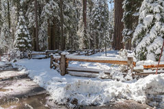 Η πορεία sequoias γιγάντων Στοκ εικόνα με δικαίωμα ελεύθερης χρήσης
