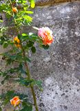 Η πορτοκαλιά αναρρίχηση αυξήθηκε συνδεμένος με τον ιστορικό τοίχο στοκ φωτογραφία με δικαίωμα ελεύθερης χρήσης