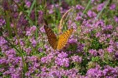 Η πορτοκαλιά πεταλούδα επικονιάζει τα λουλούδια μια ηλιόλουστη ημέρα στοκ φωτογραφία με δικαίωμα ελεύθερης χρήσης