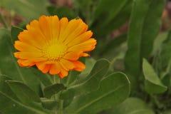 Η πορτοκαλιά πικραλίδα στοκ φωτογραφία με δικαίωμα ελεύθερης χρήσης