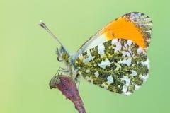 Η πορτοκαλιά άκρη - cardamines Anthocharis Στοκ εικόνες με δικαίωμα ελεύθερης χρήσης