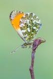 Η πορτοκαλιά άκρη - cardamines Anthocharis Στοκ φωτογραφία με δικαίωμα ελεύθερης χρήσης