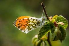 Η πορτοκαλιά άκρη & x28 Anthocharis cardamines& x29  Στοκ Φωτογραφίες