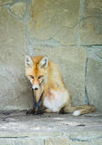 Η πορτοκαλιά αλεπού κάθεται κοντά σε έναν τοίχο πετρών Στοκ φωτογραφία με δικαίωμα ελεύθερης χρήσης