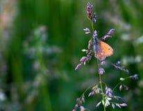 Η πορτοκαλιά πεταλούδα Στοκ Εικόνες