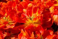 Η πορτοκαλιά τουλίπα ανθίζει τη σύσταση υποβάθρου Στοκ Φωτογραφίες