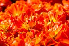 Η πορτοκαλιά τουλίπα ανθίζει τη σύσταση υποβάθρου Στοκ Εικόνες
