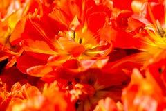 Η πορτοκαλιά τουλίπα ανθίζει τη σύσταση υποβάθρου Στοκ φωτογραφία με δικαίωμα ελεύθερης χρήσης