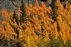 Η πορτοκαλιά Aspen Στοκ εικόνες με δικαίωμα ελεύθερης χρήσης
