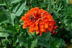 η πορτοκαλιά Zinnia στοκ φωτογραφία