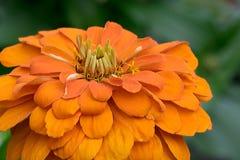 η πορτοκαλιά Zinnia Στοκ φωτογραφία με δικαίωμα ελεύθερης χρήσης