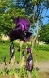 Η πορφυρή Iris Στοκ Εικόνες