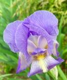 Η πορφυρή Iris Στοκ Φωτογραφία