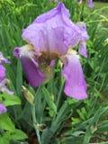 Η πορφυρή Iris Στοκ Εικόνα