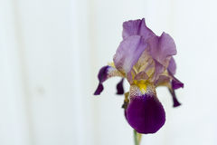 Η πορφυρή Iris Στοκ Φωτογραφίες