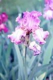 Η πορφυρή Iris στοκ φωτογραφία με δικαίωμα ελεύθερης χρήσης