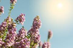 η πορφύρα με ξεχνά όχι τομέας λουλουδιών την ηλιόλουστη όμορφη ημέρα Στοκ Εικόνα
