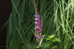 Η πορφύρα χρωστικών ουσιών λουλουδιών στο μήκος άναψε διαφωτισμένος από το φως του ήλιου - μπροστινή άποψη Στοκ Φωτογραφίες