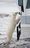 Η πολική αρκούδα ήρθε πολύ κοντά σε ένα ειδικό αυτοκίνητο για το αρκτικό σαφάρι Καναδάς Εθνικό πάρκο Churchill στοκ φωτογραφία με δικαίωμα ελεύθερης χρήσης