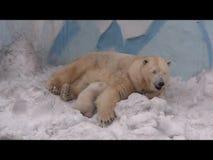 Η πολική αρκούδα είναι στήθος - ταΐζοντας cub της απόθεμα βίντεο