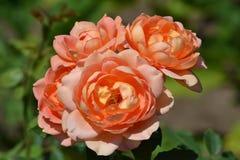 Η πολύς-ανθισμένη Rosa στο θερινό κήπο στοκ φωτογραφία με δικαίωμα ελεύθερης χρήσης