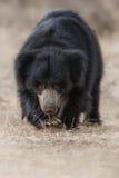 Η πολύ σπάνια νωθρότητα αντέχει την αρσενική αναζήτηση των τερμιτών στο ινδικό δάσος Στοκ Φωτογραφίες