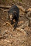 Η πολύ σπάνια νωθρότητα αντέχει την αρσενική αναζήτηση των τερμιτών στο ινδικό δάσος Στοκ εικόνες με δικαίωμα ελεύθερης χρήσης