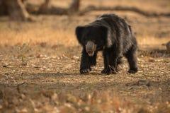 Η πολύ σπάνια νωθρότητα αντέχει την αρσενική αναζήτηση των τερμιτών στο ινδικό δάσος Στοκ Φωτογραφία
