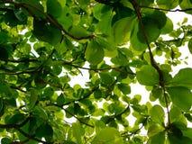 Η πράσινη αναζωογόνηση διακλαδίζεται με τα φύλλα της ινδικής αμυγδαλιάς Terminalia Catappa ενάντια στο φωτεινό ουρανό απογεύματος Στοκ εικόνες με δικαίωμα ελεύθερης χρήσης