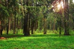 Η πράσινη δασική φωτεινή ηλιόλουστη ημέρα λάμπει ακτίνες του ήλιου Στοκ Εικόνες