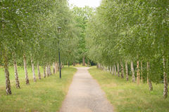Η πράσινη αλέα σημύδων Στοκ εικόνες με δικαίωμα ελεύθερης χρήσης