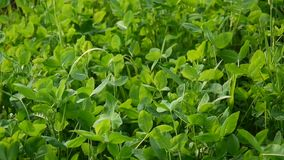 Η πράσινη κίνηση τριφυλλιού βγάζει φύλλα τον κυματισμό στον αέρα Trefoil, τριφύλλι Πυροβολισμός βιντεοσκοπημένων εικονών της στατ απόθεμα βίντεο