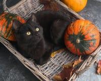 Η πράσινη μαύρη γάτα ματιών και οι πορτοκαλιές κολοκύθες στο γκρίζο υπόβαθρο τσιμέντου με το φθινόπωρο κίτρινο ξεραίνουν τα πεσμέ Στοκ φωτογραφίες με δικαίωμα ελεύθερης χρήσης