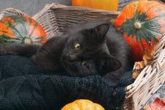 Η πράσινη μαύρη γάτα ματιών και οι πορτοκαλιές κολοκύθες στο γκρίζο υπόβαθρο τσιμέντου με το φθινόπωρο κίτρινο ξεραίνουν τα πεσμέ Στοκ φωτογραφία με δικαίωμα ελεύθερης χρήσης