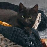 Η πράσινη μαύρη γάτα ματιών και οι πορτοκαλιές κολοκύθες στο γκρίζο υπόβαθρο τσιμέντου με το φθινόπωρο κίτρινο ξεραίνουν τα πεσμέ Στοκ Εικόνες