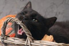 Η πράσινη μαύρη γάτα ματιών και οι πορτοκαλιές κολοκύθες στο γκρίζο υπόβαθρο τσιμέντου με το φθινόπωρο κίτρινο ξεραίνουν τα πεσμέ Στοκ Φωτογραφία