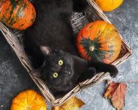 Η πράσινη μαύρη γάτα ματιών και οι πορτοκαλιές κολοκύθες στο γκρίζο υπόβαθρο τσιμέντου με το φθινόπωρο κίτρινο ξεραίνουν τα πεσμέ Στοκ εικόνα με δικαίωμα ελεύθερης χρήσης