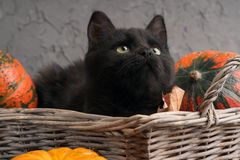 Η πράσινη μαύρη γάτα ματιών και οι πορτοκαλιές κολοκύθες στο ψάθινο καλάθι στο γκρίζο υπόβαθρο τσιμέντου με το φθινόπωρο κίτρινο  Στοκ εικόνα με δικαίωμα ελεύθερης χρήσης