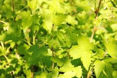 Η πράσινη νεολαία σταφίδων βγάζει φύλλα την άνοιξη Στοκ Εικόνες