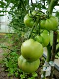 Η πράσινη ντομάτα ωριμάζει σε έναν κλάδο στοκ εικόνα με δικαίωμα ελεύθερης χρήσης