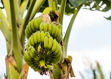 Η πράσινη σειρά κλάδων μπανανών μεγάλη των παράλληλων φρούτων ωριμάζει στον κλάδο στο κλίμα του κορμού και του ουρανού Στοκ φωτογραφία με δικαίωμα ελεύθερης χρήσης
