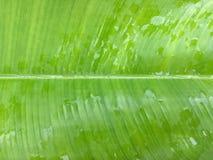 Η πράσινη σύσταση φύλλων μπανανών με τις σταγόνες βροχής, αισθάνεται τη φρέσκια έννοια Στοκ Φωτογραφία
