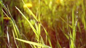 η πράσινη χλόη βρέχει το καλοκαίρι πτώσεις της βροχής ο ήλιος είναι shiningsunset πράσινες πτώσεις βροχής χλόης που ο ήλιος λάμπε απόθεμα βίντεο