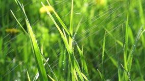 Η πράσινη χλόη βρέχει το καλοκαίρι πτώσεις της βροχής που ο ήλιος λάμπει φιλμ μικρού μήκους