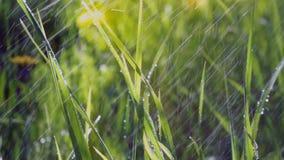 Η πράσινη χλόη ηλιοβασιλέματος βρέχει το καλοκαίρι πτώσεις της βροχής που ο ήλιος λάμπει απόθεμα βίντεο
