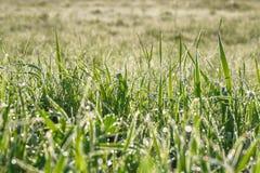 Η πράσινη χλόη με τη δροσιά ρίχνει σε ένα θερινό λιβάδι ένα υπόβαθρο θαμπάδων Στοκ Φωτογραφία