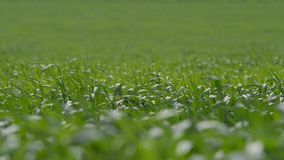 Η πράσινη χλόη που ταλαντεύεται στον αέρα απόθεμα βίντεο