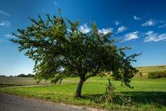 Η πράσινη Apple στον κλάδο δέντρων Στοκ Εικόνες